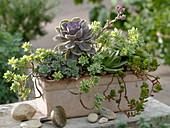Succulent Case with Echeveria
