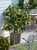 Abutilon, in wicker pot, Bidens, watering can