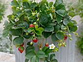 Fragaria 'Seskeep' syn. 'Seascape' (long-lasting strawberry)