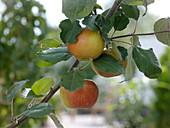 Malus 'Elstar' (apple)