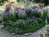 Blau-weißes Duftbeet mit Agastache (Duftnessel), Salvia nemorosa