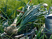 Freshly picked leek in wire basket