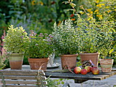 Fragrant herbs in clay pots