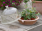 Rose cuttings in small pots, seed bell