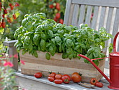Basil 'Big green Genoveser' in wooden box