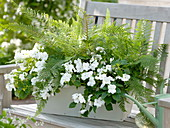 Green-white shadow box with busy lizzie and fern