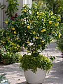 Abutilon 'Julia' (Schönmalve) unterpflanzt mit Mecardonia 'Early Yellow'