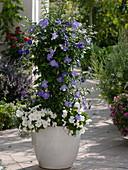 Thunbergia togoensis (Sky Flower)