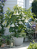 White angel trumpet on the terrace