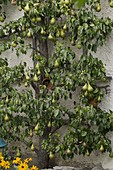 Pear 'Conference' (Pyrus communis) on trellis on house wall