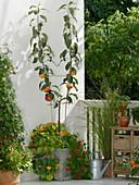 Apple tree grown in U shape on the balcony