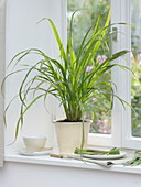 Lemongrass on the windowsill