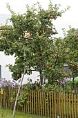 Apple tree supported by a strong branch