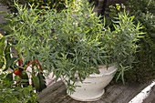 Portrait of tarragon in white glazed pot