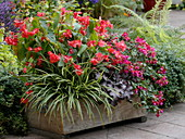 Wooden box planted for a shade terrace with begonias and fuchsias