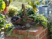 Still life with freshly harvested Beta vulgaris (beetroot)