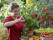 Young woman is harvesting hot peppers