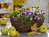 Wicker basket with viola cornuta, quinces, autumn leaves