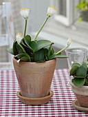 Haemanthus albiflos (elephant ear) in terracotta pot