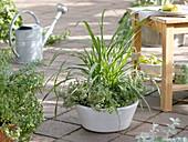 Bowl of lemongrass and lemon thyme 'Silver Queen'
