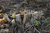 Cut back old woody shrubs to rejuvenate them