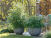 Pseudosasa japonica (Japan bamboo) in gauze pots