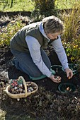 Tulipa to protect against vole in onion plant baskets