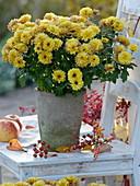 Chrysanthemum (autumn chrysanthemum) in gray cement pot