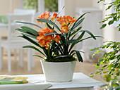 Clivia miniata (bush lily) in white bowl