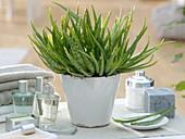 Aloe Vera barbadensis 'Sweet Aloe'