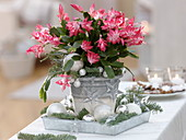 Christmas decorated Christmas cactus with Abies procera