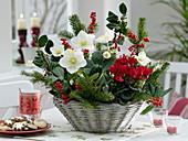 Christmas basket with Helleborus 'Christmas Star Princess'
