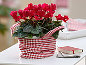 Cyclamen persicum in red and white checked fabric bag