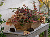Cotoneaster dammeri (cotoneaster), Heuchera 'creme brulee'