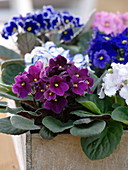 Saintpaulia Ionantha (African Violet) in wooden box