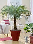 Phoenix roebelenii (dwarf date palm) in red planter