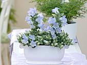 Campanula Mee 'Crownprincess' in white jardiniere
