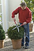 Man cuts Buxus (Box) ball into shape with hedge trimmer