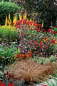 Hot COLOUR BORDER: Carex COMANS Bronze,LIGULARIA 'THE Rocket',DAHLIA 'BEDNALL BEAUTY',MONARDA 'CAMBRIDGE SCARLET'.BOSVIGO HOUSE, TRURO