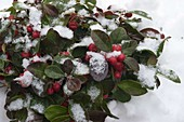 Gaultheria procumbens 'Winter Pearls' (fall berry) in the snow
