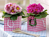Primula acaulis in pink and white checked gift bag