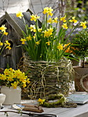 Narcissus 'Tete A Tete', hare wire with miscanthus