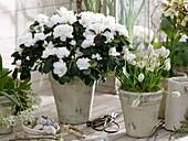 Rhododendron simsii, Muscari 'Album'
