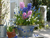 Hyacinthus (Hyazinthen), Muscari 'Blue Magic' , azureum 'Album'