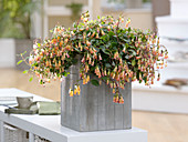 Kalanchoe manginii (Bell Kalanchoe) in wooden tub