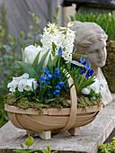 Blue-white planted woodchip basket Hyacinthus 'White Pearl', Tulipa