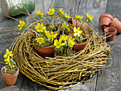 Eranthis in pots in wreath from Salix alba 'Tristis'