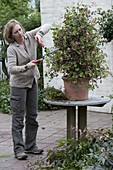 Cutting back geranium pyramid in spring