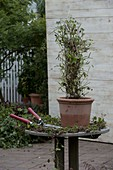 Cut back geranium pyramid in spring
