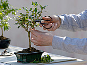 Bonsai pruning on Coprosma 'Coppershine'